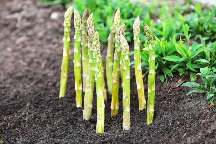 Выращивание спаржи: органическое выращивание спаржи в домашнем саду