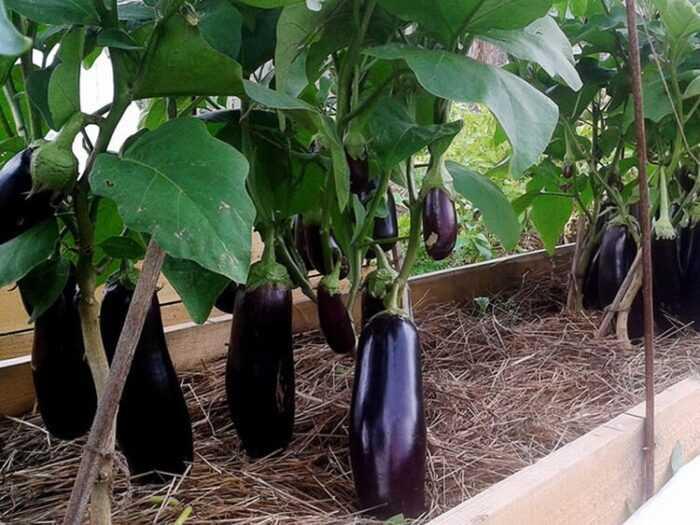 Выращивание баклажанов: выращивание органических солей в домашнем саду