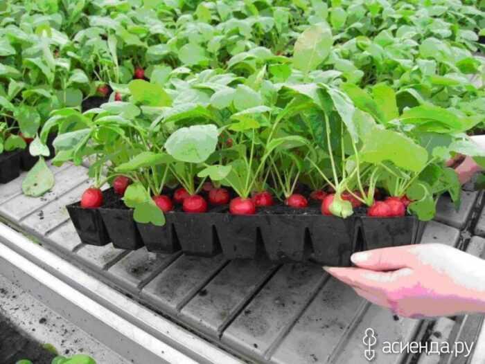 Выращивание редиса: выращивание органического редиса в домашнем саду