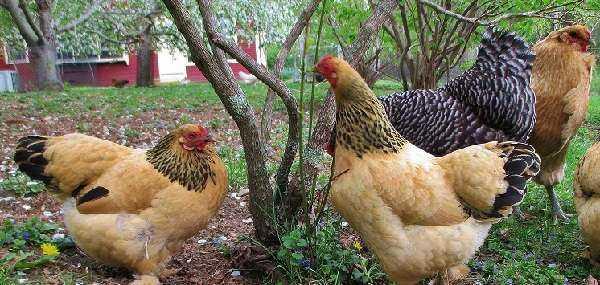 Преимущества домашних кур: удивительные преимущества домашних кур