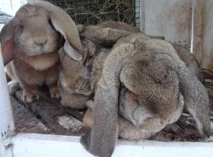 Французский кролик лоп: характеристики, использование и информация о полной породе