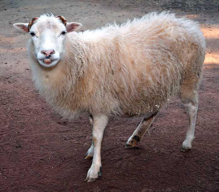 Западная красная овца: характеристики и информация о породе
