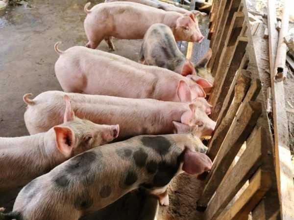 Выращивание свиней: как вырастить свиней (Руководство для начинающих)