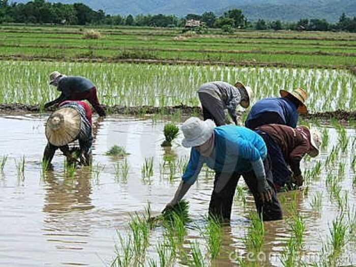 Выращивание риса: выращивание риса для начинающих