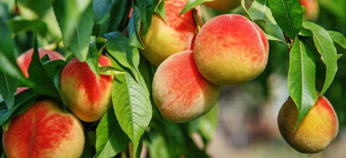 Выращивание персика: выращивание персика для начинающих