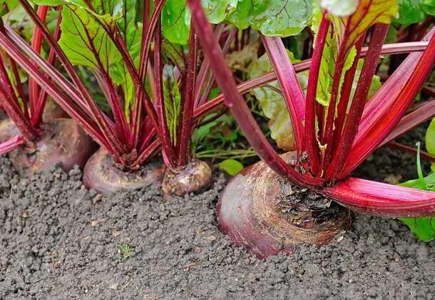 Выращивание свеклы: органическое свекловодство в домашнем саду