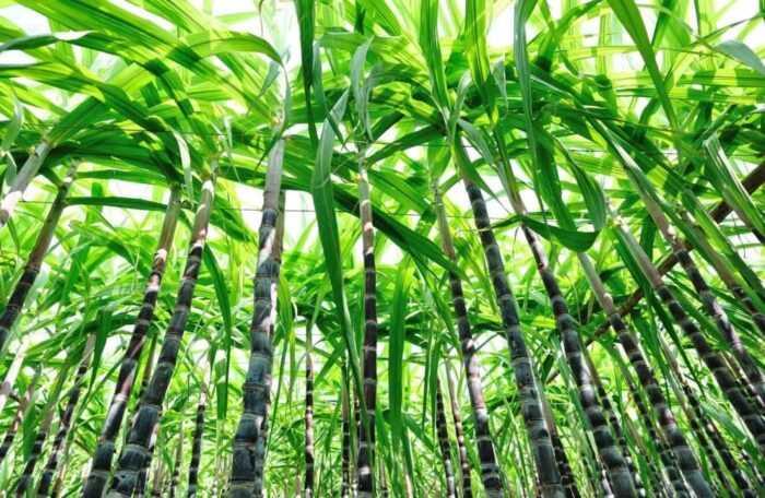 Выращивание сахарного тростника: бизнес по выращиванию сахарного тростника для начинающих