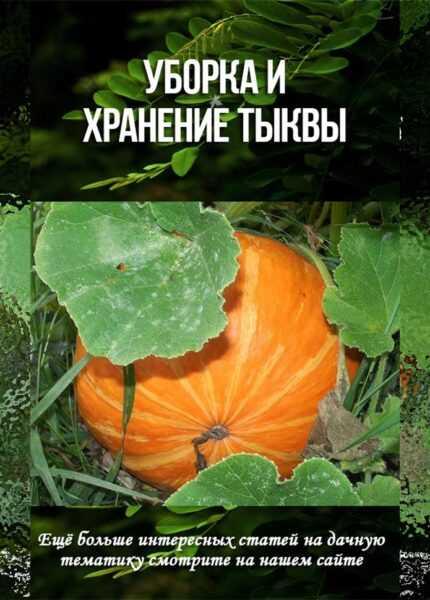 Выращивание тыквы: органическое выращивание тыквы в домашнем саду
