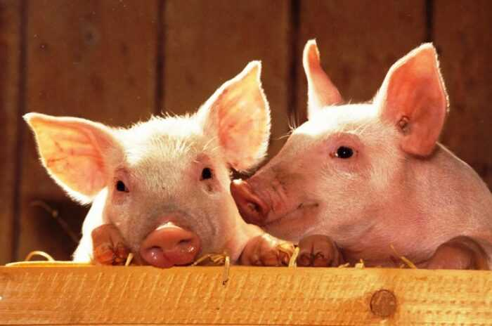 Свиноводство: руководство по коммерческому бизнесу для начинающих