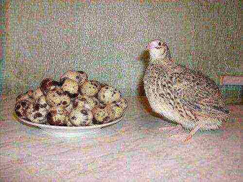 Выращивание перепелов для яиц: как вырастить перепелов для получения свежих яиц