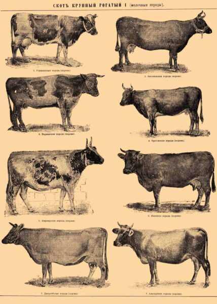 Красный крупный рогатый скот кандхари: характеристики, использование и информация о полной породе