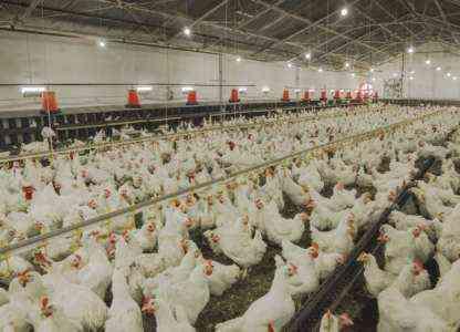Птицеводство: стартовый план прибыльного бизнеса для начинающих