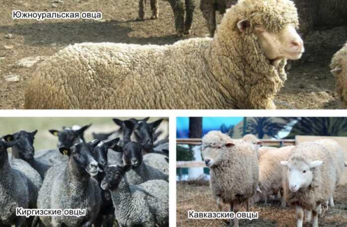 Овцы Polypay: характеристики, происхождение, использование и информация о породе
